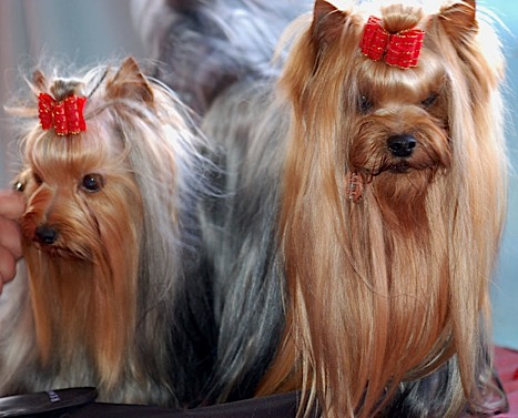 A Yorkie with a show cut has much more impressive hair.